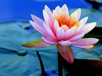 lotus-amazing-beautiful-flower-wallpaper-preview